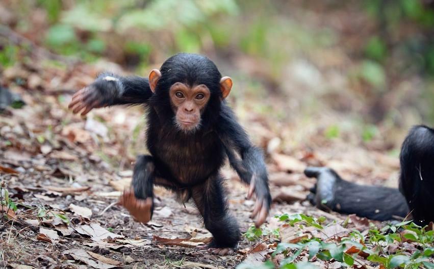 Resultado de imagen de The secret trade in baby chimps