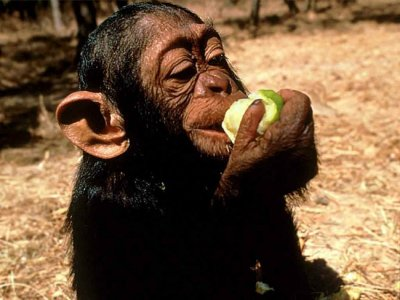 Chimp eating fruit.jpg