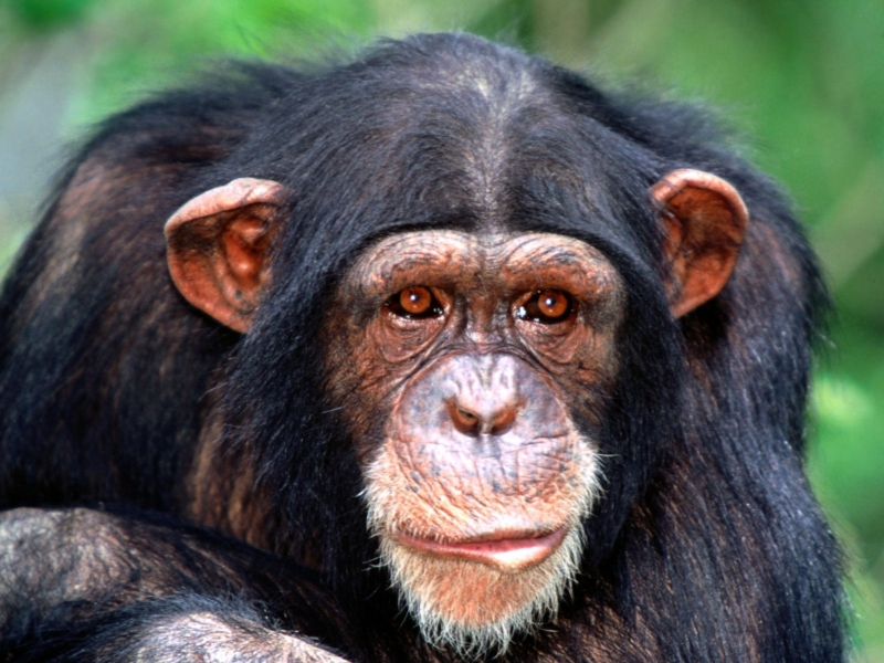 Chimpanzee Anatomy - Facts about the Physiology of Chimps