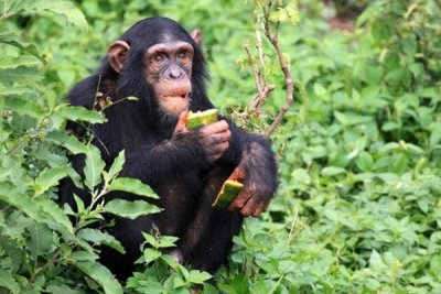 Chimpanzee in its natural surroundings.jpg