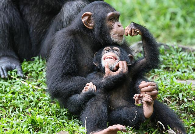 Types of chimpanzee