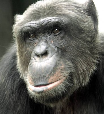 Old chimpanzee with gray hair.jpg